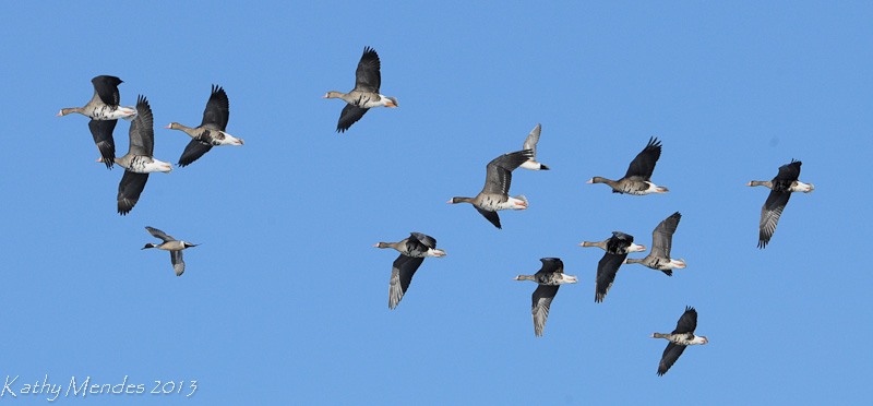 White-fronted Geese.