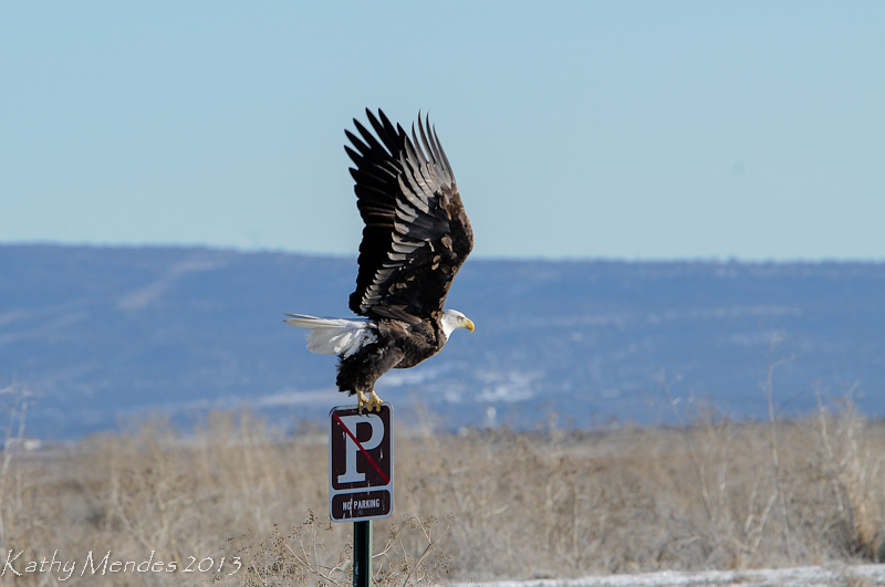 Bald Eagle taking off from its No Parking sign.