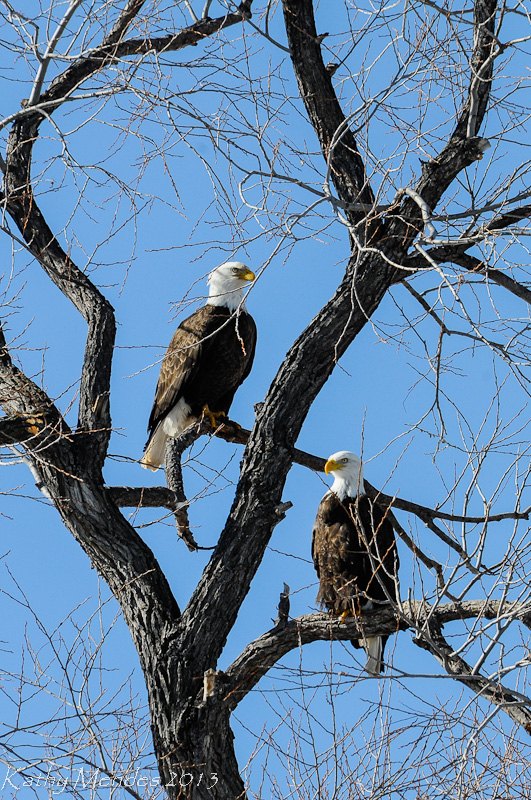 The Bald eagles were pairing up.