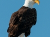 Bald Eagle, Majestic and Fierce