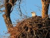 Bald eagles make HUGE nests high in the trees.