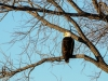 Bald Eagle roosting in the early morning.