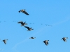 White-fronted Geese flying in formation.