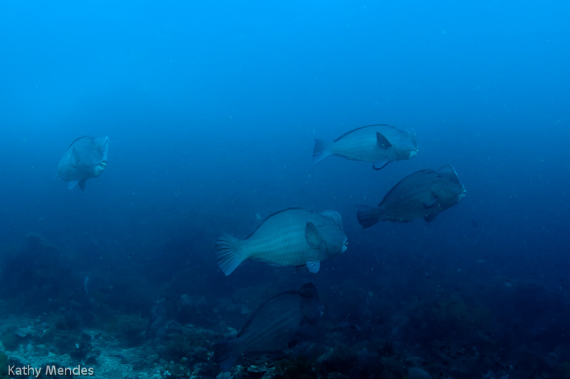 Bumphead Parrotfish at Bangka Island