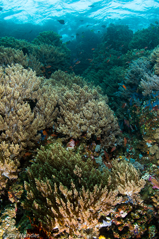 Healthy Coral Reef at Bangka Island