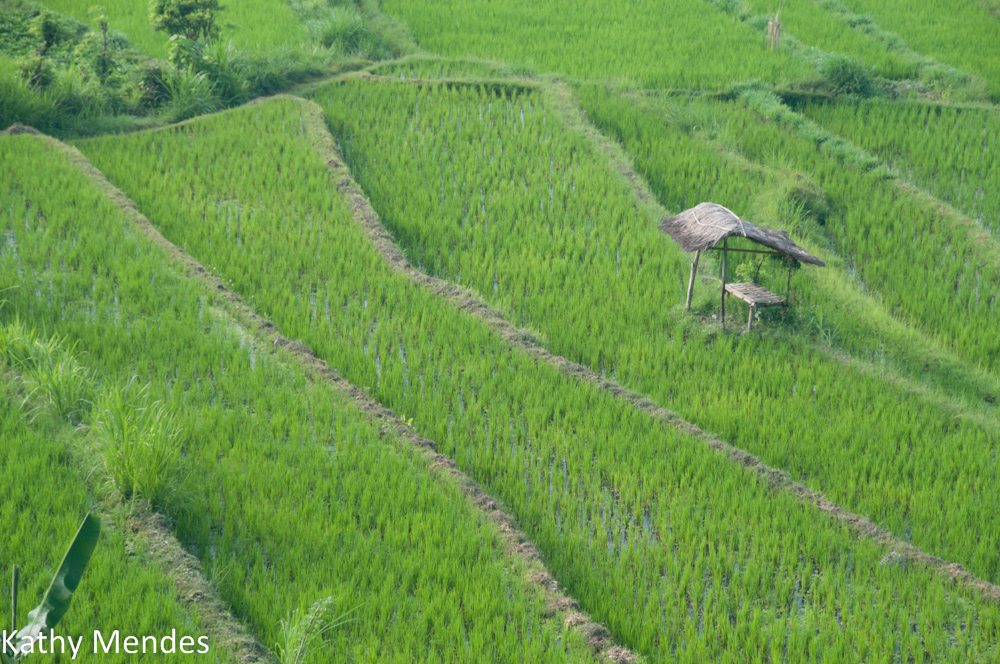 Terraced Bali Rice Fields