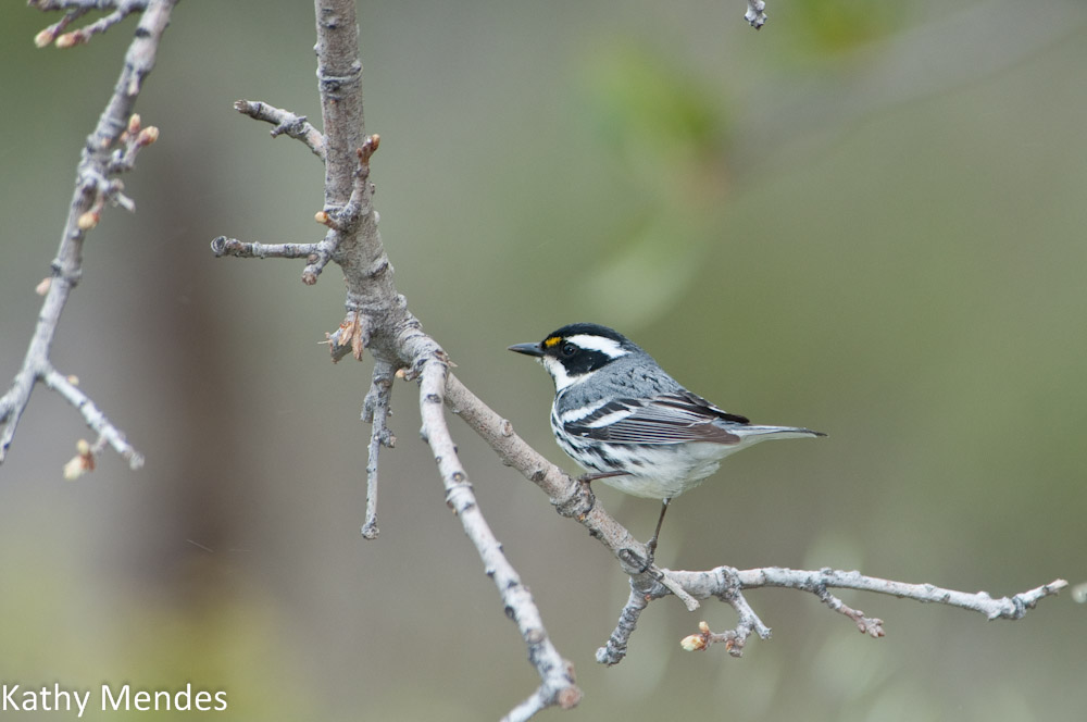 Adult Male Black-throated Grey Warbler