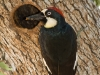 Male Acorn Woodpecker Brings Food to the Nest