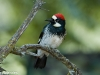 Male Acorn Woodpecker