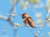 Rufous or Allen's Hummingbird