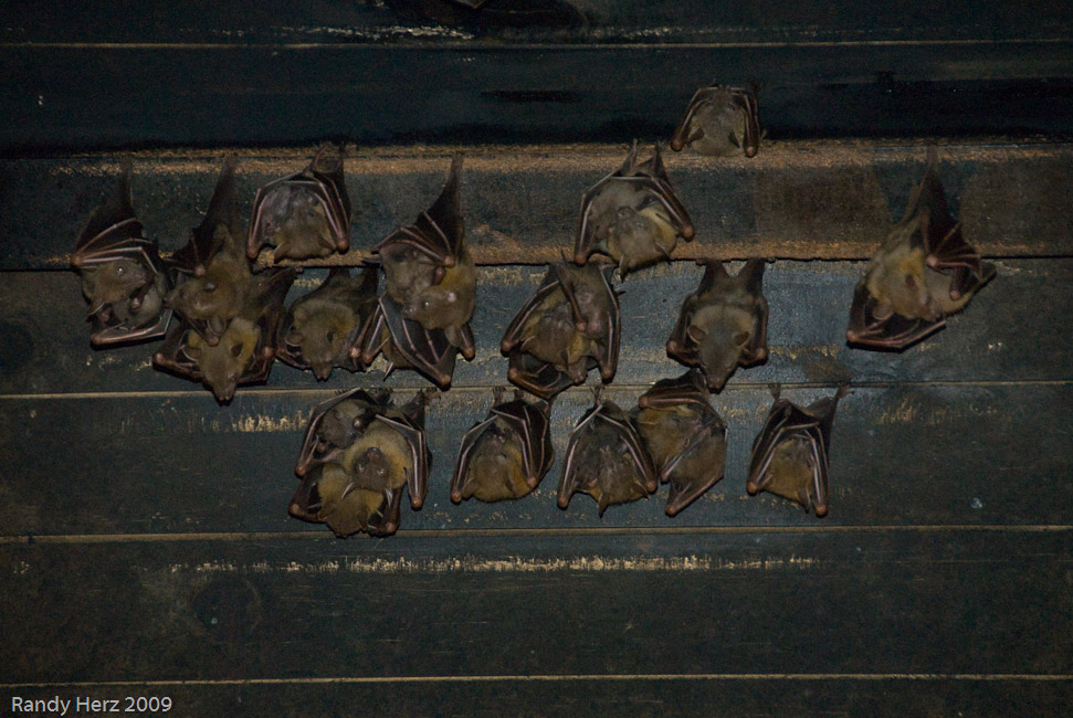 Bats in the roof at the Night Safari