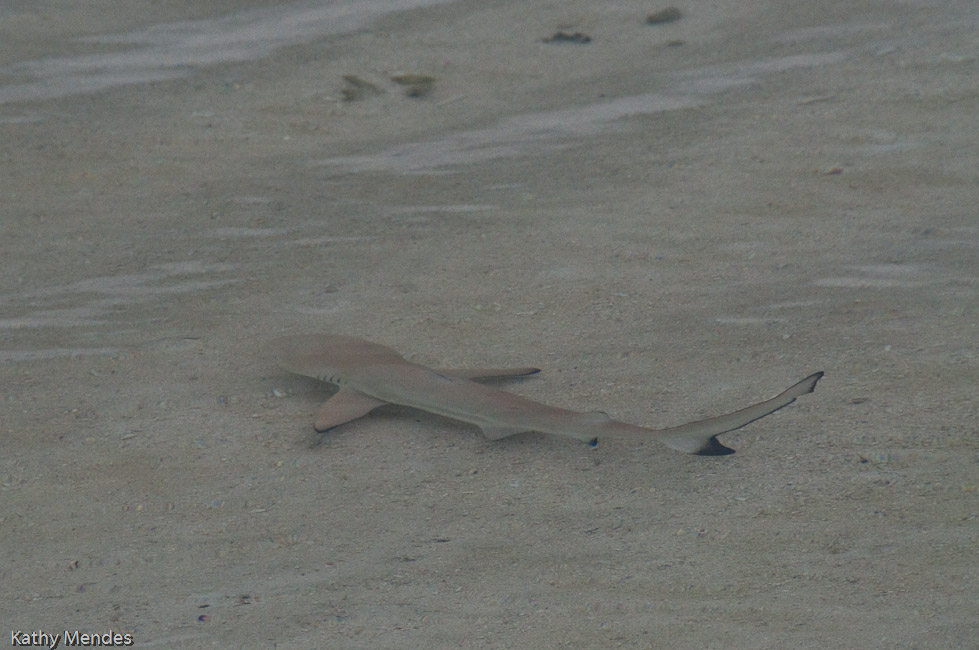 Juvenile black-tip sharks frequent the ocean along the beach.