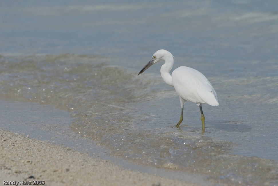 Egret fishes along water edge.