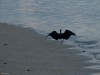 A black phase egret runs along the beach.