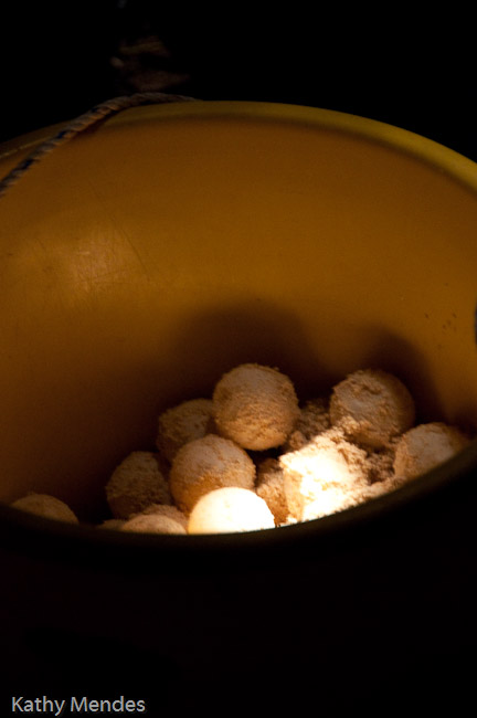 Turtle eggs in a basket to be buried in the hatchery.