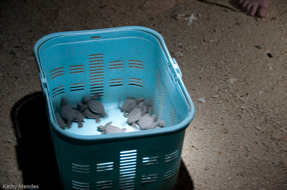 Baby turtles ready to be released to the ocean.