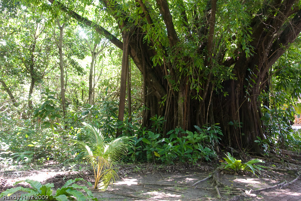 Ficus and strangler figs.