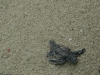 Baby turtle scramples for the sea.