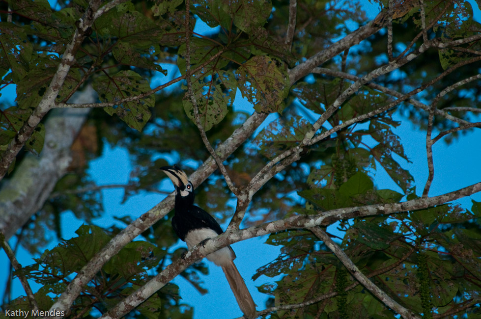 We saw Hornbills flying around and in trees.
