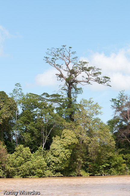 Tall hardwood trees are hard to find in the second growth rainforest along the river, due to logging.