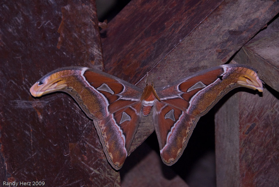This huge moth was found on the stairs to the dock.
