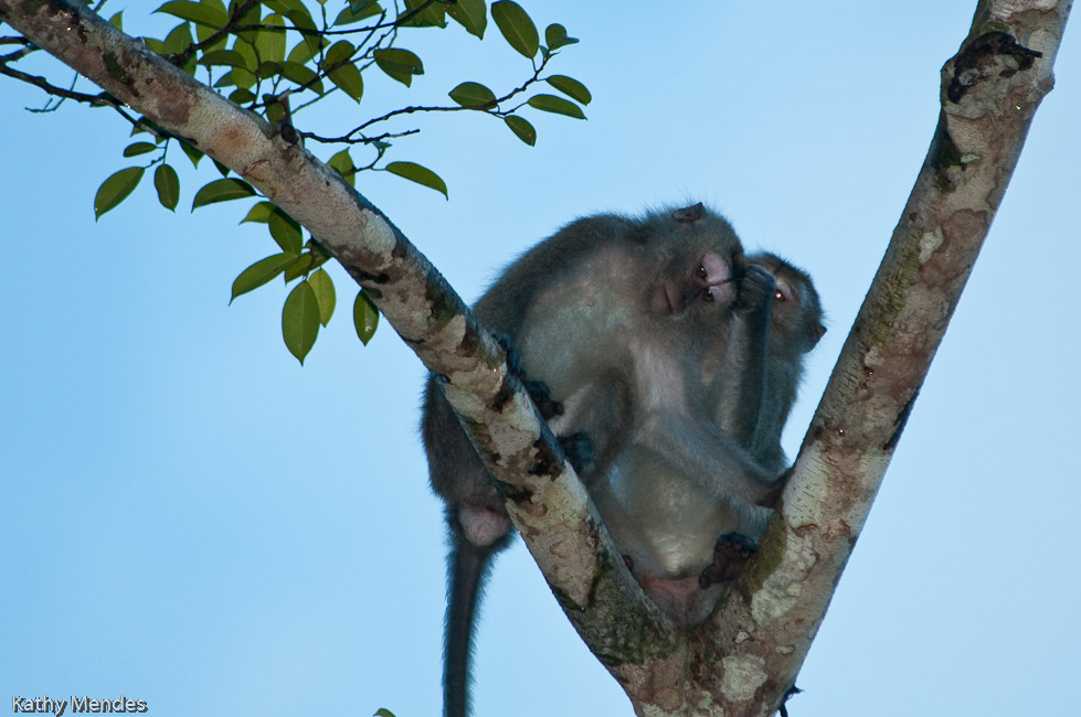 Macaque monkeys grooming each other in a tree.