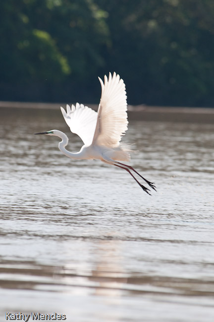 An egret lifts off from the river.
