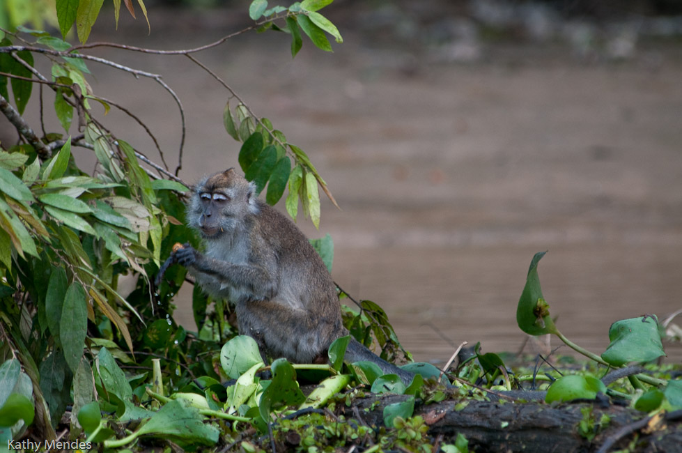 A macaque eats figs off a tree that fell into the river.
