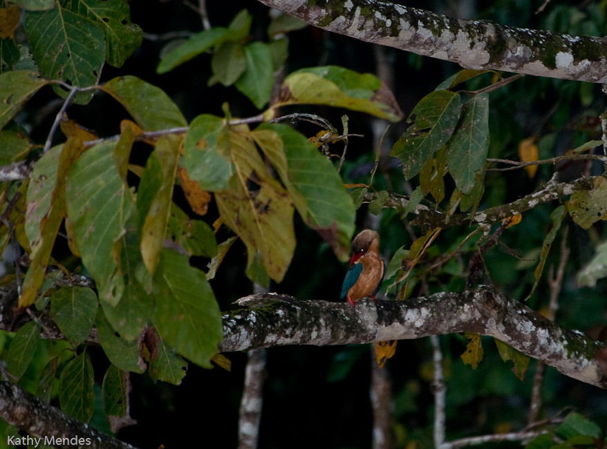 A Kingfisher in a tree at dusk.