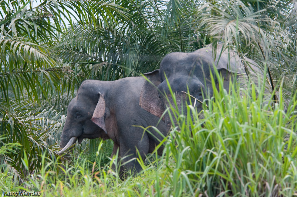 The elephants are browsing at the edge of a palm plantation.