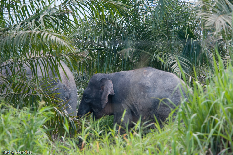 The palm plantations are encroaching on the rainforest home of elephants, orang utans and many other animals.