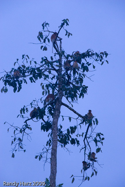 Macaques in a tree at sunset.