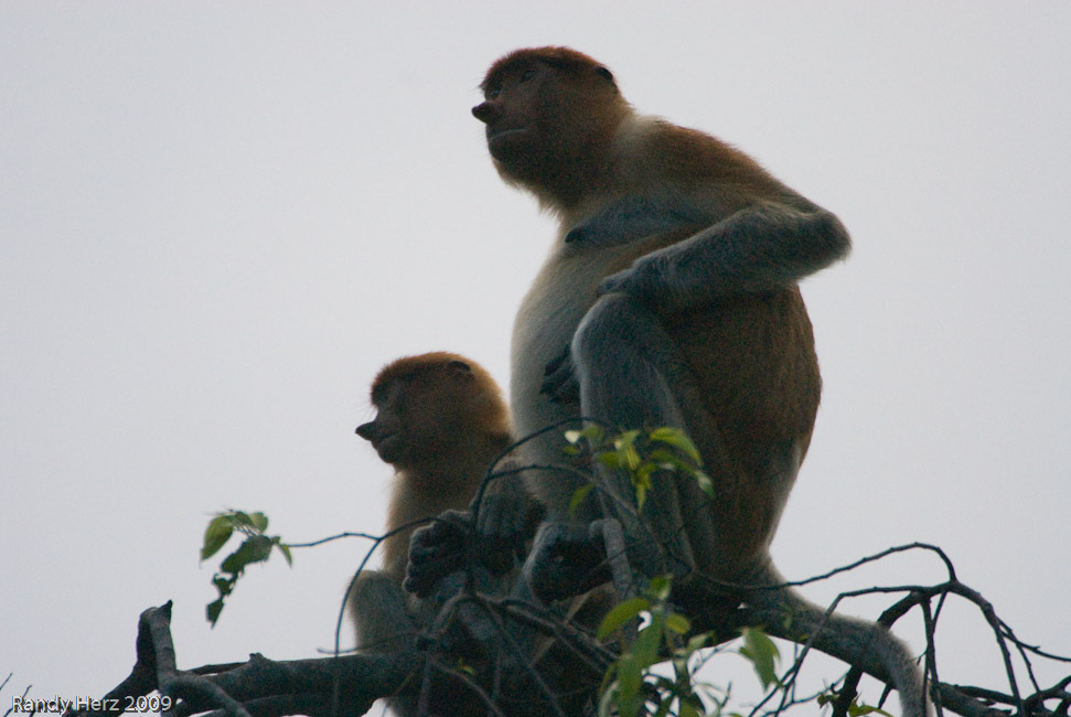 Silhuette highlights the nose that the Proboscis monkeys are named for.