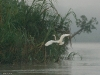 An egret flies over the river.