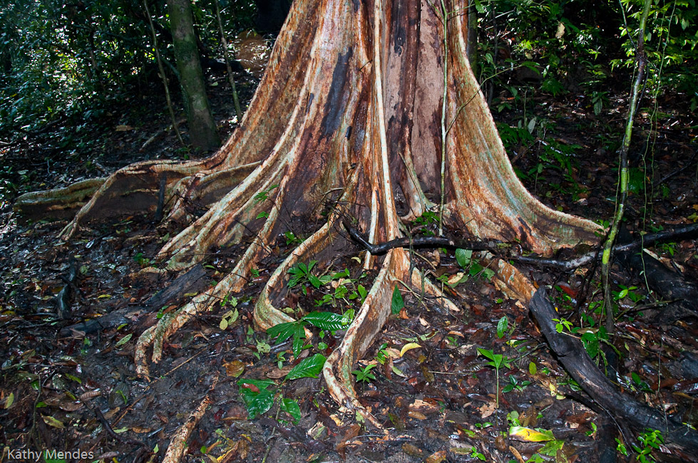 Huge roots of the tall trees reach out in all directions.