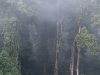 Tall trees in primary rainforest in the morning mist.