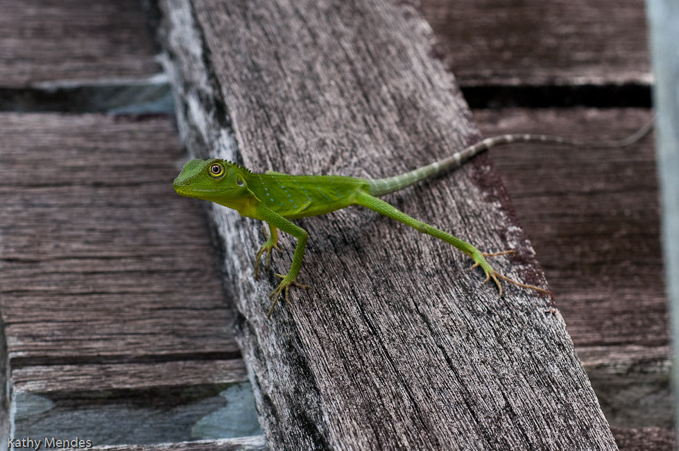 A lizard on the walkway pauses to look us over.