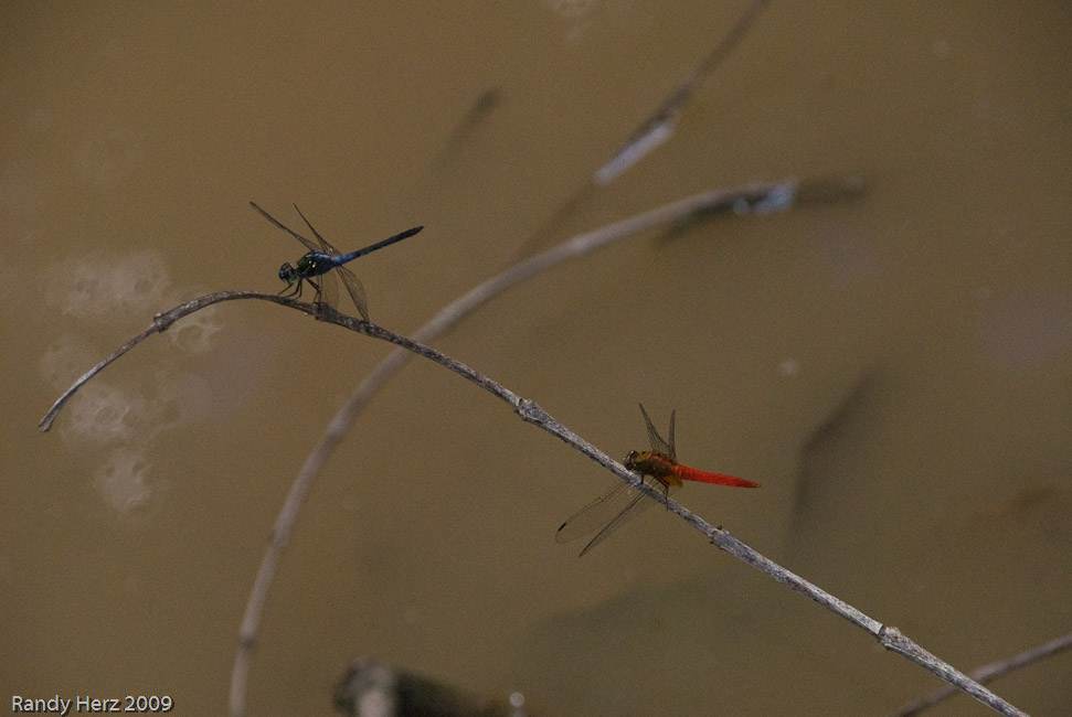 Two dragonflies at the frog pond.