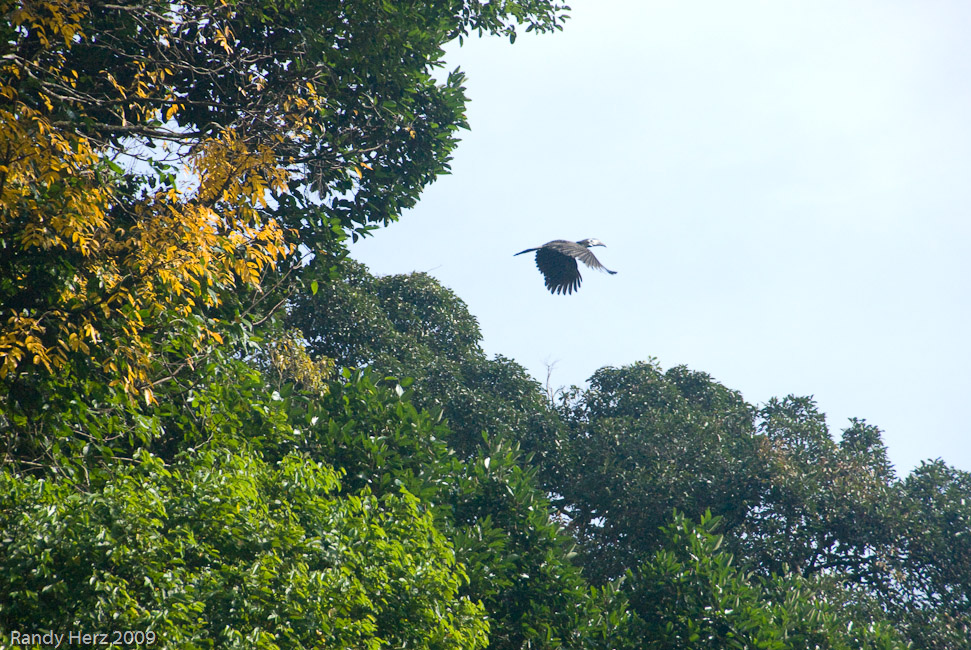 Hornbill photographed while going over the canopy walkway.