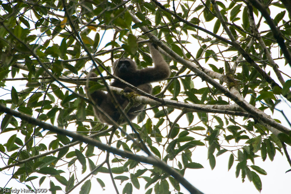 A rare Gibbon is seen in the tree right outside of the lodge.