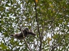 Gibbons live in the upper part of the rainforest canopy and are rarely seen.