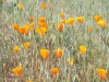 California Poppy (Eschscholzia californica)