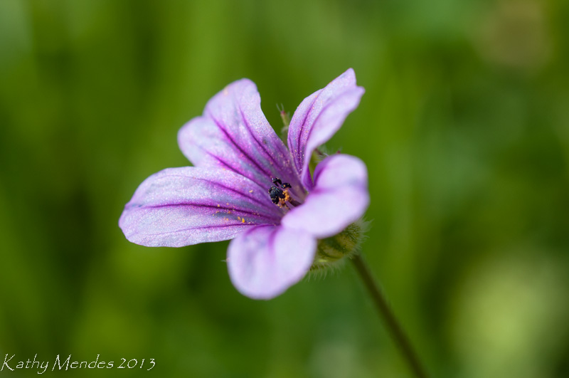 Another image of Blue-eyed Grass