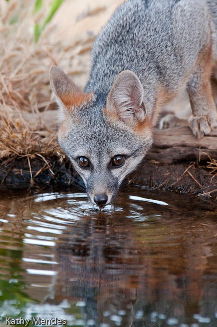 Young Grey Fox