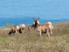 Female Tule Elk and  Calves