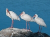 Three White Ibis...