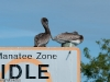 Pelicans in the Idle Zone