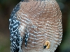 Red-shouldered Hawk - Homosassa Springs Wildlife Park