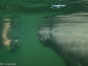 Manatee Gets its Portrait Taken