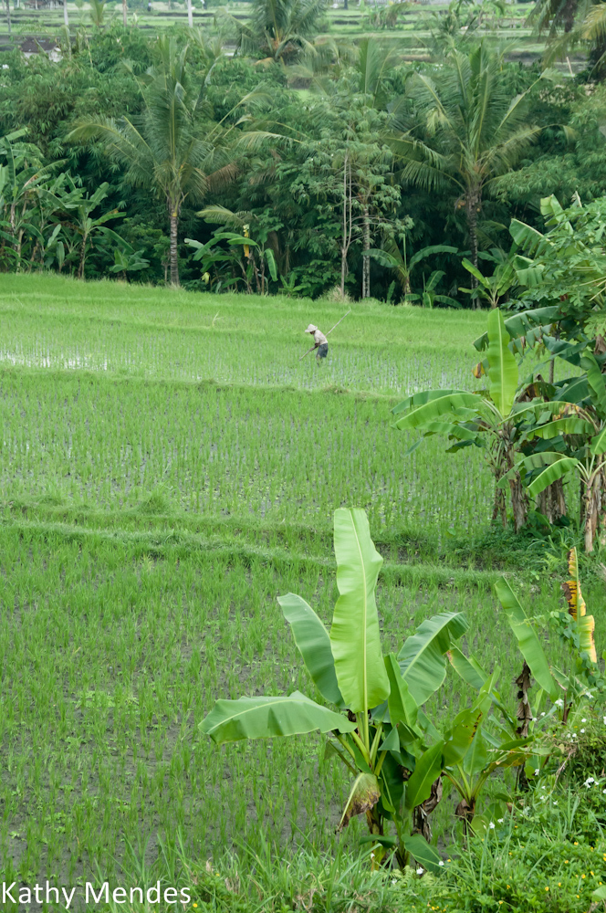 Green Bali rice fields on the way to Git Git.